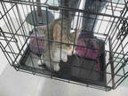Adopt BINGO a Brown Tabby Domestic Shorthair / Mixed (short coat) cat in