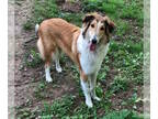 Collie DOG FOR ADOPTION RGADN-192631 - Takota - Collie (long coat) Dog For