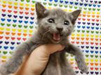 Adopt LEXI a Gray or Blue Domestic Shorthair / Mixed (short coat) cat in