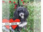 Poodle (Miniature) DOG FOR ADOPTION RGADN-194303 - Abigail - Poodle (Miniature)