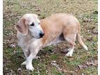 Adopt Clover a Basset Hound / Labrador Retriever / Mixed dog in Little Rock