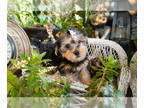 Yorkshire Terrier PUPPY FOR SALE ADN-142229 - Yorkie Pup