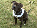Adopt BUTCH a Black - with White American Pit Bull Terrier / Mixed dog in