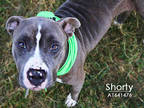 Adopt SHORTY a Gray/Silver/Salt & Pepper - with White American Pit Bull Terrier