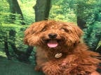 Adopt TANNER a Red/Golden/Orange/Chestnut Poodle (Miniature) / Mixed dog in
