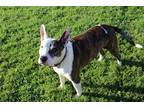 Adopt SCRAPPY a Brindle - with White American Pit Bull Terrier / Mixed dog in