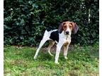 Adopt LOUISE a Tricolor (Tan/Brown & Black & White) Treeing Walker Coonhound /