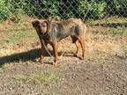Adopt Mary a Tricolor (Tan/Brown & Black & White) German Shepherd Dog / Mixed
