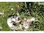 English Setter Female pup
