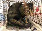 Adopt KAITE a Abyssinian, Domestic Short Hair