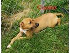 Adopt Cookie a Labrador Retriever, Mixed Breed