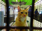 Adopt LEO a Orange or Red Domestic Shorthair / Mixed (short coat) cat in Los