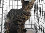 Adopt 19-17610 a Domestic Short Hair
