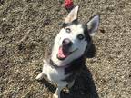 Adopt Reign a Black - with White Husky / Mixed dog in Tioga, PA (25931007)