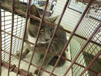 Adopt MAMA a Gray, Blue or Silver Tabby Domestic Longhair / Mixed (long coat)