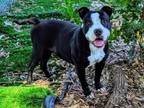 Adopt WIGGLY a Pit Bull Terrier