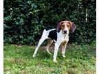 Adopt LOUISE a Treeing Walker Coonhound, Mixed Breed