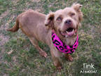 Adopt TINK a Brown/Chocolate Nova Scotia Duck-Tolling Retriever / Mixed dog in