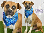 Adopt OLIVER a Brown/Chocolate - with White Boxer / Mixed dog in Houston