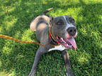 Adopt T-BONE a Gray/Silver/Salt & Pepper - with White American Pit Bull Terrier