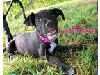 Adopt Lucy a Black Australian Cattle Dog / Mixed dog in Kansas City