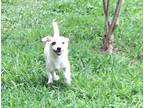 Adopt Elizabeth a White - with Tan, Yellow or Fawn Dachshund / Mixed Breed