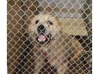 Adopt 42286851 a White Great Pyrenees / Mixed dog in Cleveland, AL (25956410)