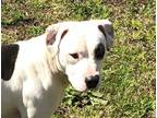 Adopt Boosie a White - with Black Pit Bull Terrier / Mixed dog in Newberry