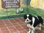 Adopt LIZZY a Black - with White Papillon / Border Collie / Mixed dog in Agoura