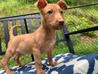Adopt peanut a Brown/Chocolate Terrier (Unknown Type, Small) / Mixed dog in