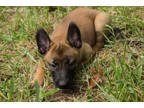 Belgian Malinois Puppy for sale in Ava, MO, USA