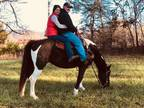 16 year old registered trail horse