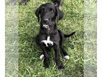 Great Dane-Poodle (Standard) Mix PUPPY FOR SALE ADN-146329 - Danoodle Girl