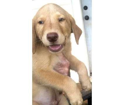 AKC OFA Lab Girl is a Female Labrador Retriever Puppy For Sale in Mebane NC
