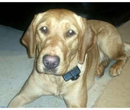 AKC OFA Cream Lab Boy is a Male Labrador Retriever Puppy For Sale in Mebane NC