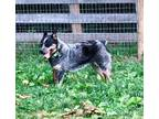 Adopt Cody a Tricolor (Tan/Brown & Black & White) Australian Cattle Dog / Mixed