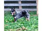 Adopt Cody a Australian Cattle Dog / Blue Heeler