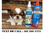 Happy Akc Reg Shih Tzu Pups Available for sale