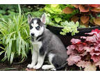 zxwt7 - Siberian Husky puppies ready for sale / adoption.