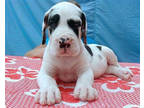 Mns63! - Harlequin Great Dane puppies for sale / adoption.