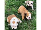 SFWS Available Quality Bulldogs Puppies FOR SALE.