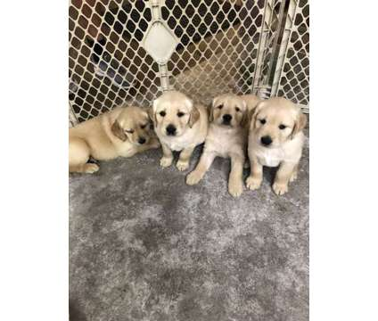AKC Golden Retriever pups is a Female Golden Retriever Puppy For Sale in Belle Vernon PA