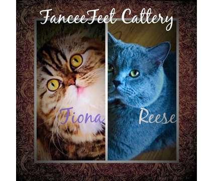 Scottish Fold Kitten Ready for Adoption is a Male Scottish Fold Kitten For Sale in Jacksonville AL