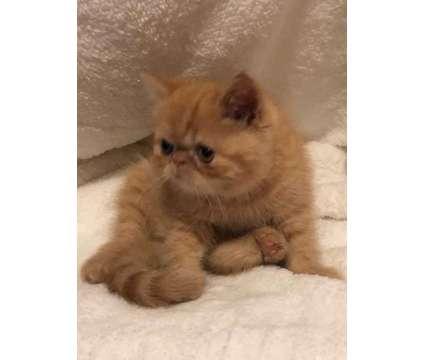 Exotic Short Hair Kitten Ready for Adoption is a Male Kitten For Sale in Jacksonville AL