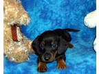 Dachshund Pups Available For Sale