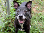 Adopt HAYLEIGH A Black - With White Boston Terrier / American Staffordshire
