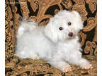 Coton de Tulear Puppy for sale in Houston, TX, USA