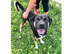 Adopt Bailey a Black - with Tan, Yellow or Fawn Shepherd (Unknown Type) / Mixed