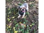 Adopt Lily a Yorkshire Terrier