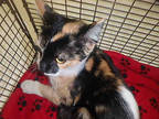 Adopt TIGER a Calico or Dilute Calico Domestic Longhair / Mixed (long coat) cat